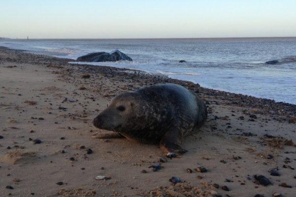 Horsey beach seal